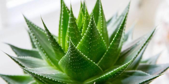 Алое віра - вирощування і догляд в домашніх умовах, як використовувати листя і сік для лікування