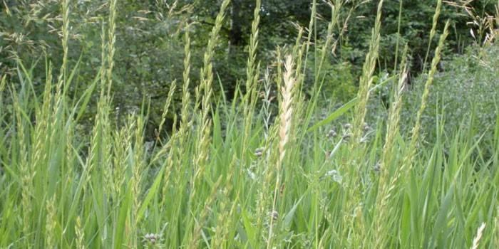 Пирій повзучий - як виглядає і опис з фото, користь і протипоказання кореневища або трави