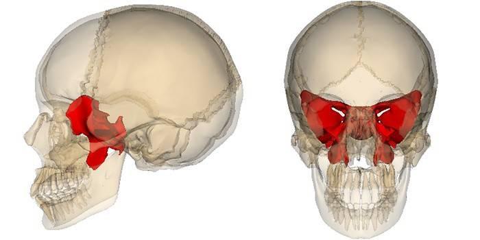 Клиноподібна кістка - будова, частини, отвори, канали і відростки з описом і фото
