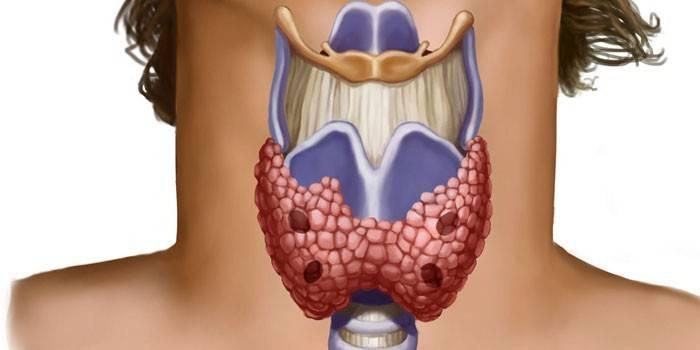 Гормони щитовидної залози та їх функції в організмі - як здавати аналізи і розшифровка
