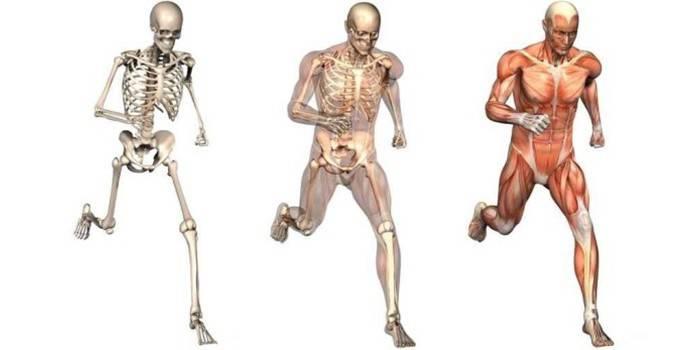 Опорно-рухова система: функції, умови правильного формування, лікування захворювань, при порушеннях апарату