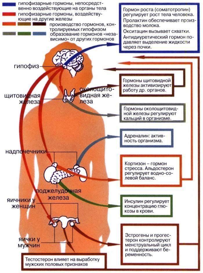 Гормони гіпофіза та функції передньої і задньої частки залози