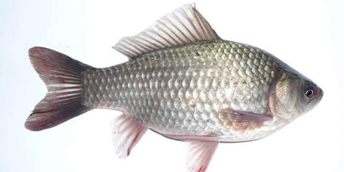 Солітер в рибі - як виглядає паразит, небезпечний він для людини, чи є заражену рибу