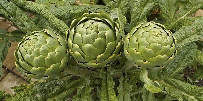Артишок - що це таке, користь і шкоду овоча, покрокові рецепти приготування страв з фото