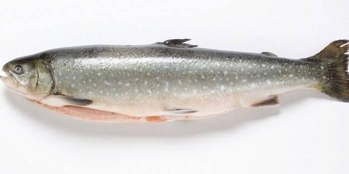 Голець - що за риба: представники види і користь