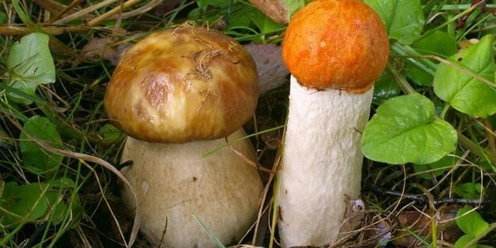Як відрізнити їстівні гриби від неїстівних і визначити по фото, як виглядають отруйні і помилкові види